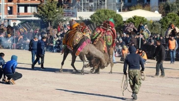 Ayvalık'ta 13. Deve güreşi festivali