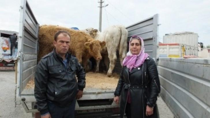 Burhaniye'de Genç Çiftçilere Ücretsiz Düve Dağıtıldı